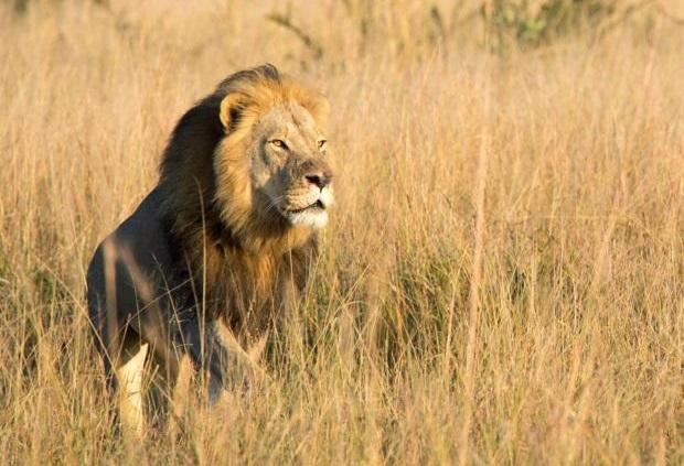 Zimbabwe : Xanda, le fils de Cecil le lion, abattu par un chasseur