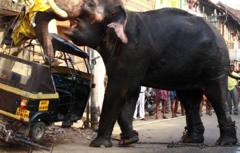 Inde : une personne tuée chaque jour par un éléphant ou un tigre