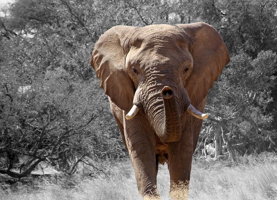Un chasseur d'éléphant meurt écrasé par sa proie