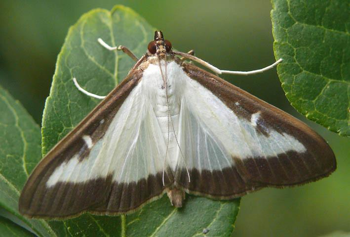 pyrale du buis le papillon chinois fait des ravages en france minutenews. Black Bedroom Furniture Sets. Home Design Ideas