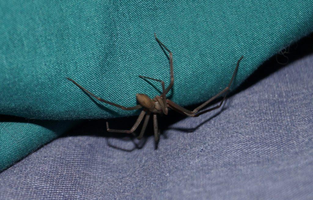 Quatre cas de nécrose après des piqûres d'araignées — Pyrénées-Orientales