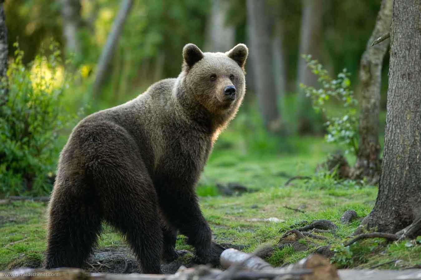 birmanie l ours la langue de trois kilos a t op r avec succ s minutenews. Black Bedroom Furniture Sets. Home Design Ideas