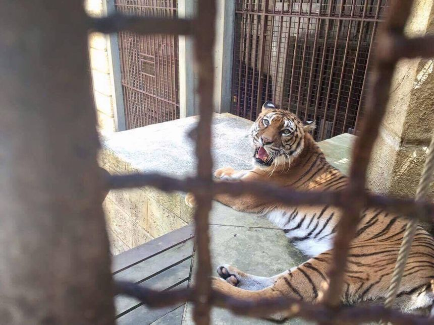 L'association PETA entend stopper l'apparition des tigres — Fort Boyard