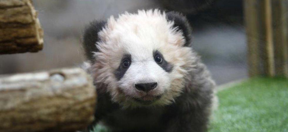 zoo de beauval le b b panda sera visible par le public. Black Bedroom Furniture Sets. Home Design Ideas