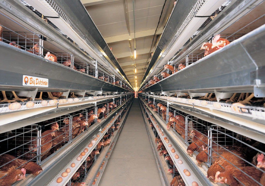 Alimentation : interdiction des œufs de poules en batterie en 2022