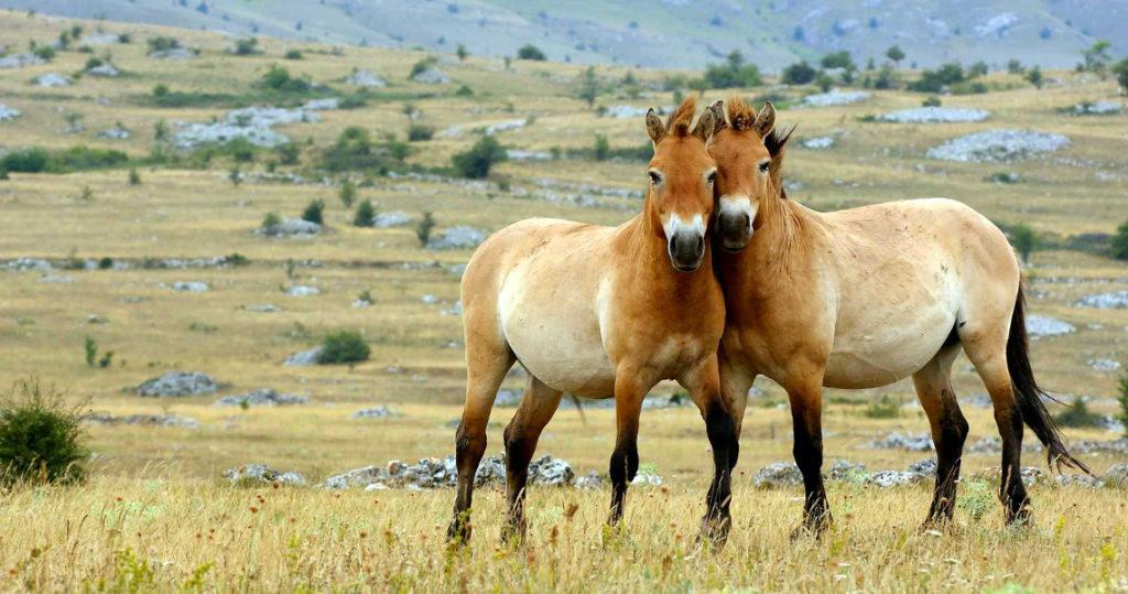 Pourquoi il n'y a plus de chevaux sauvages sur Terre