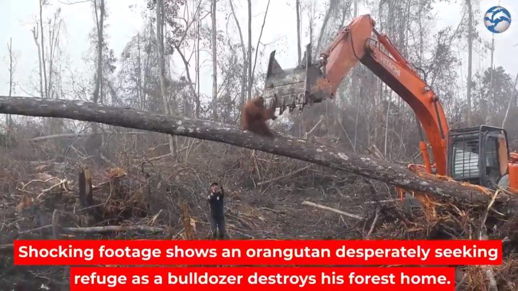 Cet orang-outan défie un bulldozer détruisant sa forêt